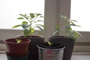 Hinten: Chilis aus der greenUnit 2.0 (bereits umgetopft), vorne: zeitgleich in Töpfen gepflanzte Chilis (Standort Terasse)